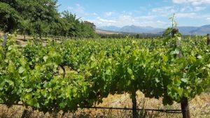 vineyard-copy